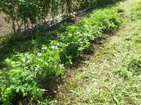 落花生・さつま芋を草から救出来ました。 - チドルばぁばの家庭菜園日誌パート2