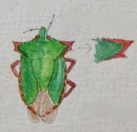 #昆虫スケッチ 『ツノアオカメムシ』 - スケッチ感察ノート