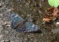 高原のチョウたち スミナガシとアサギマダラ - 公園昆虫記
