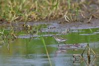 ヒバリシギ - ごっちの鳥日記
