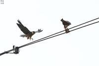 僕にちょうだい チゴハヤブサ - 野鳥公園