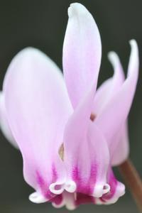原種シクラメン ヘデリフォリウム - yama10フォトライフ