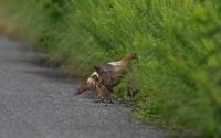 キジ(部分白化)の母親と子供達 - 私の鳥撮り散歩