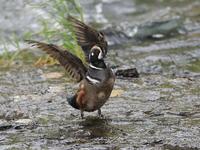 初見初撮りシノリガモ - 『彩の国ピンボケ野鳥写真館』