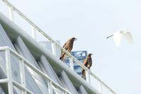 トビとダイサギ - 西多摩探鳥散歩