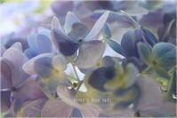 真夏の紫陽花* と、カブトムシ - FUNKY'S BLUE SKY