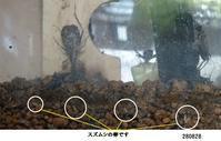 スズムシが産卵を始めました - 比企の郷 月輪紀行