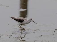 下の池のコアオアシシギ - コーヒー党の野鳥と自然 パート2