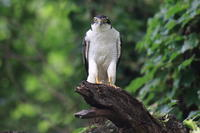 オオタカ ポートレートⅡ『龍頭の鷹』 - 気まぐれ野鳥写真