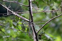ピンボケもまた嬉し オニヤンマ - 野山の住認たちⅡ