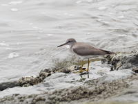 臨海公園のキアシシギ - コーヒー党の野鳥と自然 パート2