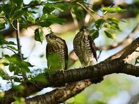 今季はたくさん・・・ツミ。最終章(逞しい雛たち編) - 鳥見んGOO!(とりみんぐー!)野鳥との出逢い