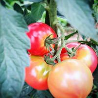 トマト!🍅✨ - sun.soup