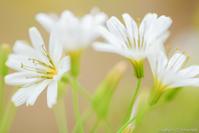 花びら占い - ひつじ雲日記