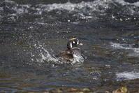 シノリガモ その2(水浴び) - 私の鳥撮り散歩