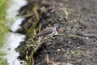 休耕田でイソシギを - 私の鳥撮り散歩