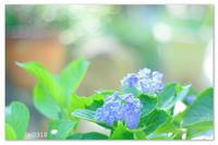 季節外れの紫陽花。 - Yuruyuru Photograph