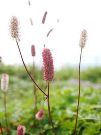 鳥海山の高山植物 - tokoya3@