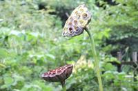 ■ 小谷戸池の傍の花   17.8.29   (オオガハス、タコノアシ、トロロアオイ) - 舞岡公園の自然2
