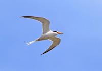 ・コアジサシ - 鳥見撮り