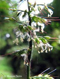 チヂミザサ(縮み笹) - 草花と自然Blog