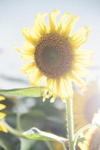 輝くひまわりと夏の終わりと出会い - なちゅフォト