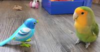 【動画】おもちゃの鳥に可愛く反応するコザクラインコちゃん - FreeIsland