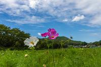 今日の巾着田と日和田山 - デジカメ写真集