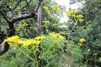 ■ 古民家周辺の花 3種   17.9.1   (オミナエシ、タマアジサイ、ナンバンギセル) - 舞岡公園の自然2