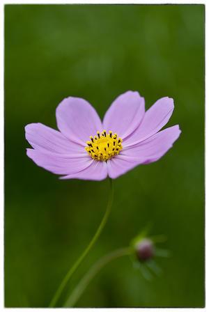 秋桜。 - 花蒐集 hana collection