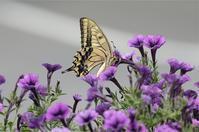 ●● 紫色がお気に入り・・・・・・・・キアゲハ ●● - kameのフォトブック2