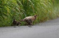 キジ(部分白化)の母親と子供達 その2 - 私の鳥撮り散歩