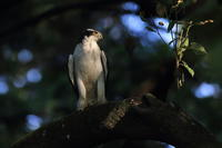 オオタカ ポートレートⅢ『調理台』 - 気まぐれ野鳥写真