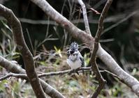 ヤマセミとペリット - THE LIFE OF BIRDS --- 野鳥つれづれ記