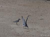 シギ探鳥 甲子園浜へ - ~Field Note~