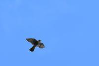 ハヤブサ 09月02日 - 旧サンヨン(Nikon 300mm f/4D)野鳥撮影放浪記