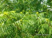 ノグルミ(野胡桃)の果実がいっぱいできています。 - デジカメ散歩悠々