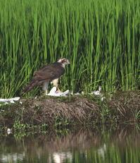 オオタカ成鳥:②サギ捕食2017 - バード・アイ・ライフ