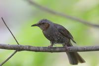 ヒヨドリの幼鳥 - やぁやぁ。