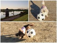 17年9月3日 グランドで弾けてくれたよ♪ - 旅行犬 さくら 桃子 あんず 日記