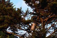 オオタカ 09月03日 - 旧サンヨン(Nikon 300mm f/4D)野鳥撮影放浪記