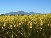 稲穂と蕎麦の花 - 八ヶ岳 革 ときどき くるみ