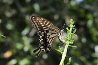 ■ アゲハチョウ(ナミアゲハ)   17.9.3 - 舞岡公園の自然2