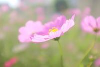 秋桜〜秋はすぐそこまで - なよら風