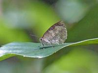 ルーミスシジミ  悪天にめげず - 蝶のいる風景blog