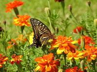 お花畑に集う蝶たち - 花と写真と