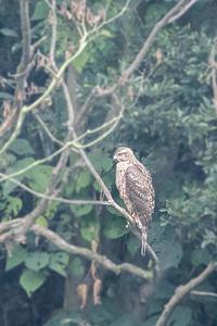 若タカ - 趣味の野鳥撮影