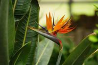 Bird of Paradise ... - ショーオヤジのひとり言