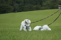 芝生は人もワンも気持ちいね♪ - いちご&ニコの photo 日記♪
