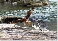 鳶に油揚げをさらわれる - THE LIFE OF BIRDS --- 野鳥つれづれ記